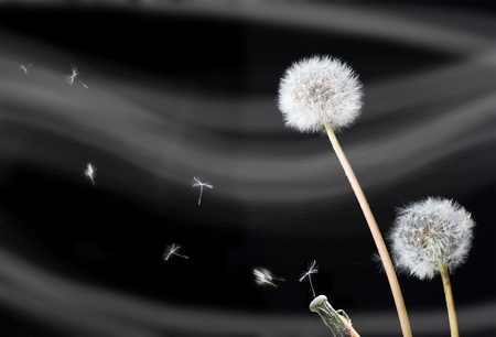 dandelion flowers seed dispersal over black background Stock Photo