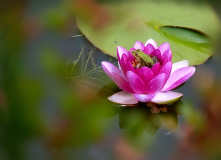 Frog sitting in a pink flower of water lilly