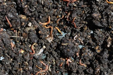 earthworms: abono de humus con gran cantidad de lombrices de tierra