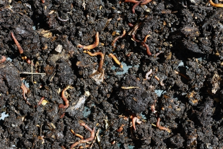 vermicomposting: humus compost with large amount of earthworms