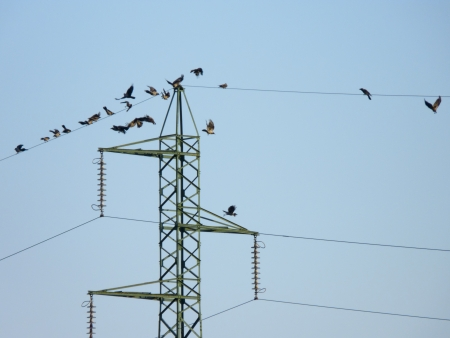 Many crow birds flying on the electric wires photo