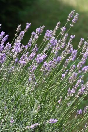 Lavender flower field , purple aromatic wildflower blooming