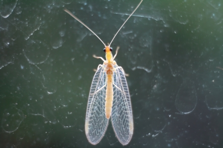 entomological: Green Bay Fly or Day Fly or Fishfly or Midgee or Jinx Fly or Ephemeroptera