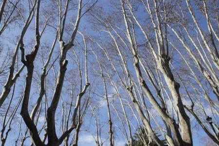 sicomoro: ramas de �rboles de pl�tanos en la primavera Foto de archivo