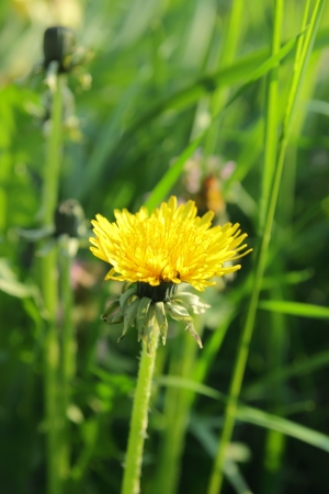 taraxacum: Taraxacum officinale, dandelion head in full bloom
