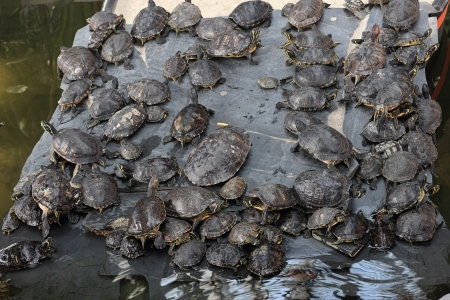 breeding ground: red-eared slider turtles in breeding ground