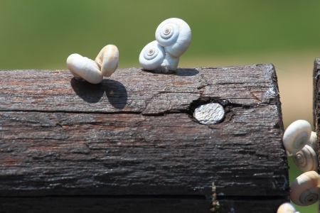 white shell small snails mating in summer time