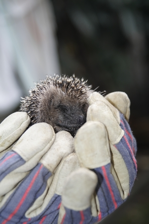 caring hands: young europen hedgehog in caring hands