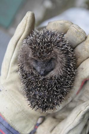 defensive posture: young europen hedgehog in defensive posture Stock Photo