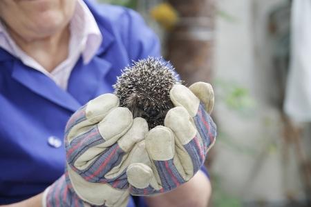 caring hands: jonge europen egel in zorgzame handen Stockfoto