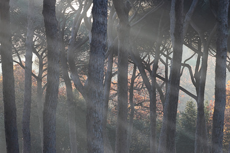 rays of sun light in pine forest