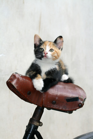 bycicle: little female cat on bycicle seat
