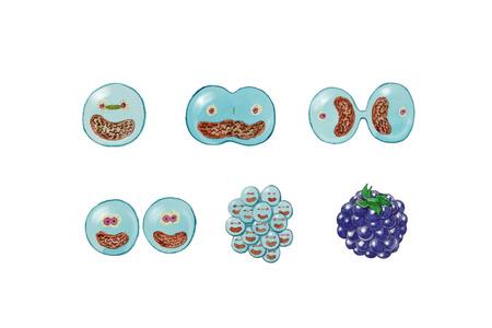 zygocyte: cells multiplication concept, illustration over white Stock Photo