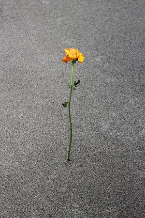 aloneness: single yellow overblown rose on sandy desert Stock Photo