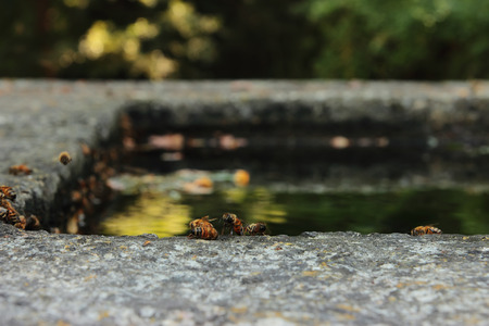 or thirsty: abejas sedientos buscan agua