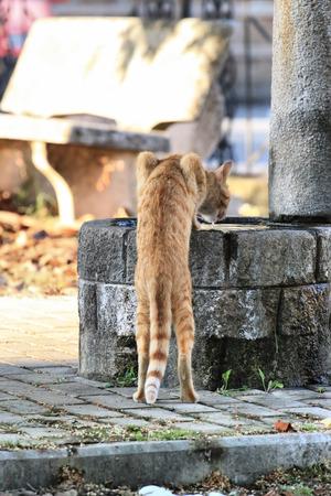 sediento: gato rojo bebiendo agua de una fuente de piedra