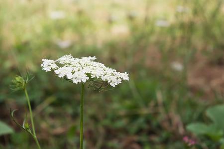 yarrow: Yarrow white flower (Achillea millefolium)