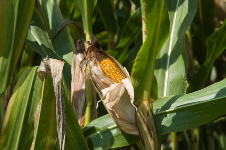 mais: a corn cob growing on plant at farmland Stock Photo