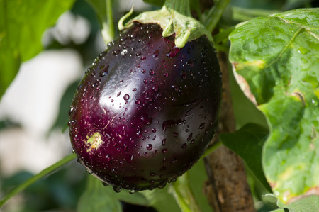 egg plant: egg plant growing in the garden Stock Photo