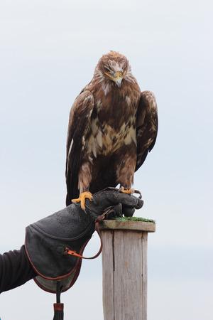 aquila: steppe eagle, Aquila nipalensis bird of prey