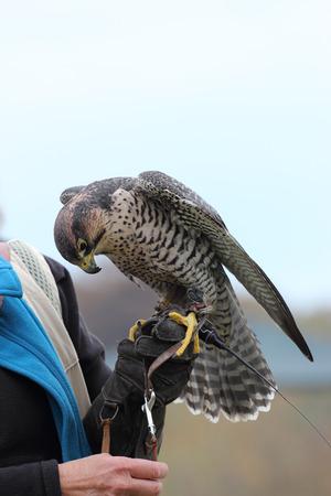 peregrine: peregrine falcon,Falco peregrinus, aka the peregrine or duck hawk Stock Photo