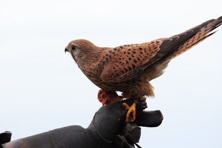 falconry: common kestrel perched on falconry glove