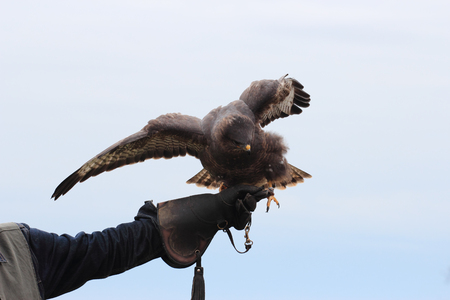 milvus: The black kite, Milvus migrans on falconry glove