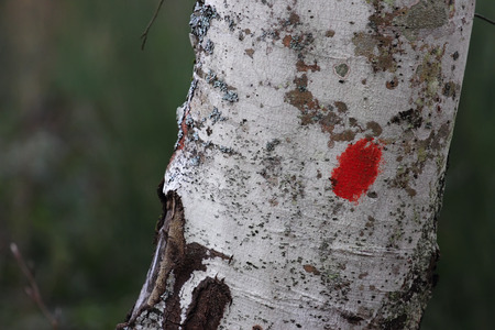 marking: red marking for hikers on beech trunk, Italy