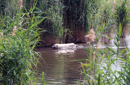 sheepdogs: white Maremma Sheepdog  bathing in a pond Stock Photo