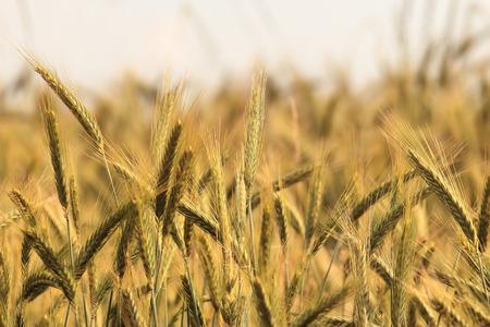 wheatfield: Wheat ears crop at summer time