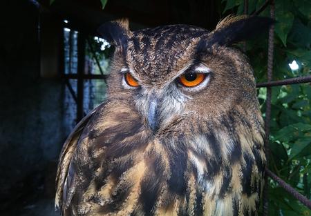 Closeup of a Eurasian Eagle-Owl in a cage