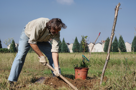 shrubbery: gardener sets Vitis (grapevines) in orchard