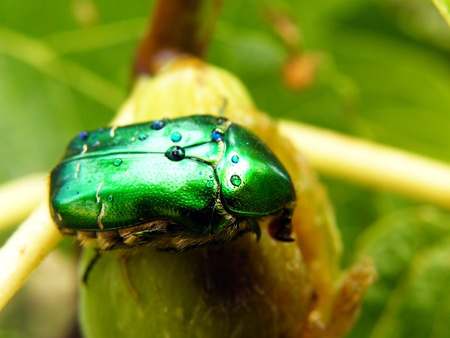 scarabaeidae insect photo