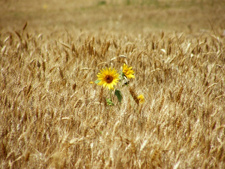 sunflower in a field photo