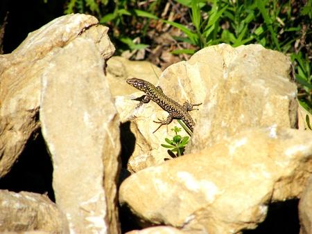 scamper: lizard Stock Photo