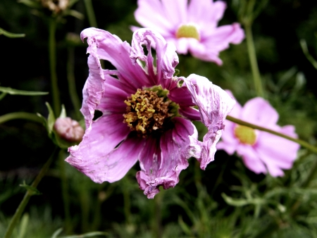 withered flower: withered flower