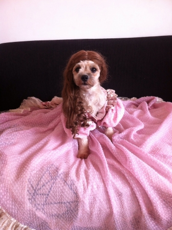 otganimalpets01: My cute dog in her long pink gown and brunette wig