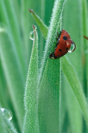Ladybug and dew drop