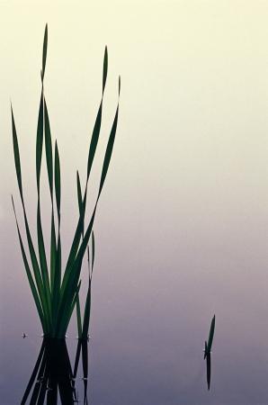 Lisdodde en Still Pond