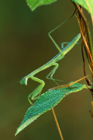 Praying Mantis and Dew