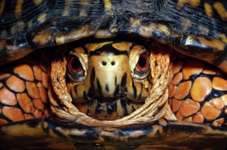 Eastern Box Turtle Portrait Stock Photo - 16401127