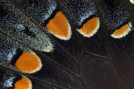 Tiger Butterfly Wing Stock Photo