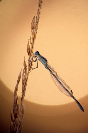 Damselfly and Dew Stock Photo