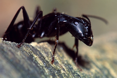 Carpenter Ant Portrait