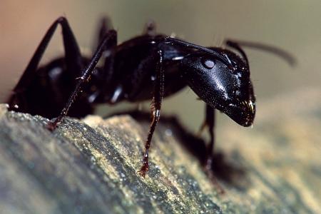 Carpenter Ant Portret