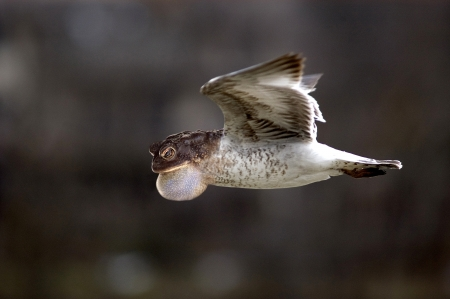 Weird frog bird in flight Stock Photo