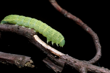 Inchworm on branch