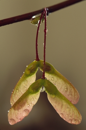 Maple Seed Pods with Dew