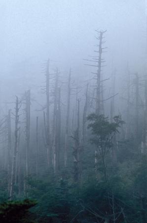 kwaśne deszcze: Martwe drzewa na mglisty Hillside Zdjęcie Seryjne