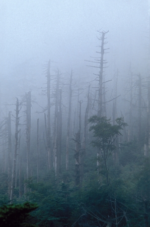lluvia acida: �rboles muertos en Hillside Foggy Foto de archivo